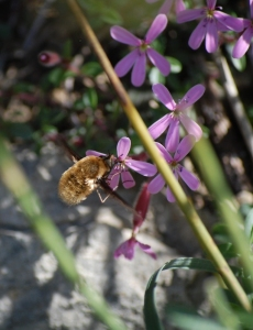 abeille-2